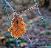 Dry oak leaf covered with frost. Dry oak leaf on a branch covered with frost. Focus on one leaf in the middle stock photo