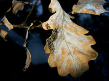 Dry Oak Leaf Covered With Frost Stock Images