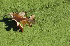 Dry oak leaf. Fall in the water between duckweed Royalty Free Stock Photography