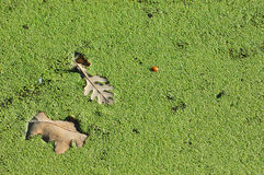 Dry oak leaf. Fall in the water between duckweed Royalty Free Stock Images
