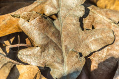 Dry Oak leaf in forest after winter, early spring Stock Photography