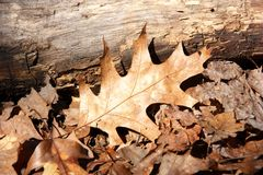 Dry oak leaf. On ground at fall Royalty Free Stock Images