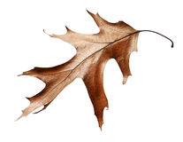 Dry oak leaf isolated on white background Stock Image