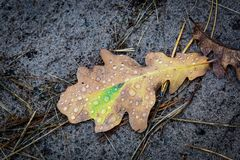 Oak leaf with water drops. Dry oak leaf with water drops Royalty Free Stock Images