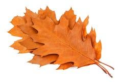 Free Dry Oak Leaves Royalty Free Stock Photos - 104120778