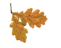 Dry Oak Leaves Royalty Free Stock Photo