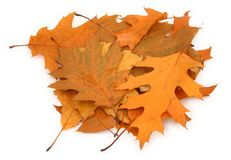 Dry oak leaves Royalty Free Stock Photography