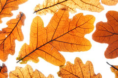 Dry oak leaves Stock Photos
