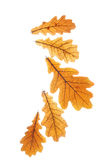 Dry Oak Leaves Royalty Free Stock Photo