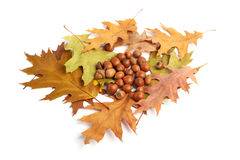 Dry oak leaves and acorns on white Stock Image