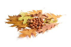 Dry oak leaves and acorns on white Royalty Free Stock Photos