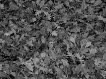 Dry oak leaves in black and white image Stock Image