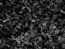 Dry oak leaves in black and white image Stock Photo