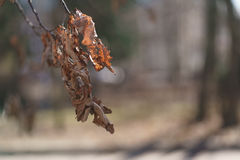 Dry oak leaves on branch in early spring Royalty Free Stock Photography