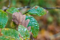 Dry oak leaves fell on other leaves. On a sheet of raindrops stock photo
