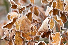 Dry oak leaves with frost stock image