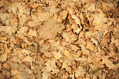Dry foliage. Dry oak leaves on the ground for background Royalty Free Stock Photos