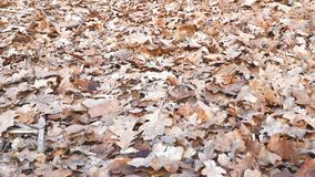 Dry oak leaves on the ground. Camera panning stock video footage