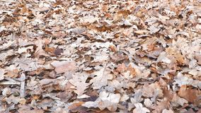 Dry oak leaves on the ground. Camera panning stock footage