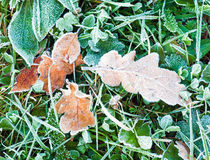 Dry oak  leaves with hoarfrost Stock Photography