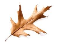Dry oak leaves isolated on white background Stock Photo