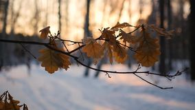 Dry oak leaves on the tree in winter landscape at sunset stock footage