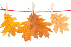 Dry oak leaves on a white Stock Images