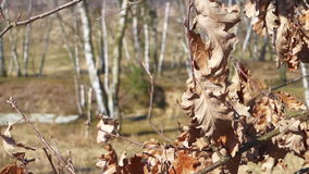 Dry oak leaves in the wind. Spring nature detail stock video footage