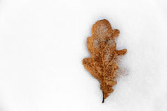 Dry oak's leaf on snow Stock Image