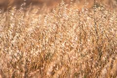 Dry Oat grass growing on a field in California where is considered invasive royalty free stock photography
