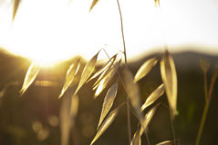 Dry oat plant in sunlight Royalty Free Stock Photos