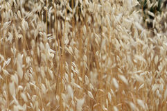 Dry oat straw Royalty Free Stock Images