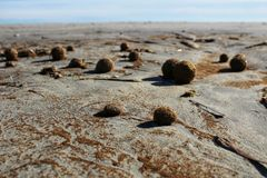 Dry oceanic posidonia seaweed balls on the beach and sand textur Royalty Free Stock Photos