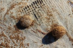 Dry oceanic posidonia seaweed balls on the beach and sand textur Stock Images