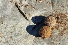 Dry oceanic posidonia seaweed balls on the beach and sand textur Stock Photo