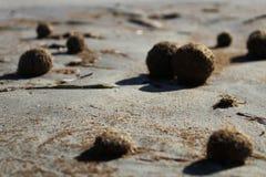 Dry oceanic posidonia seaweed balls on the beach and sand textur Stock Image