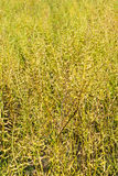 Dry oil rape field Royalty Free Stock Images
