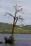 Dry old tree alone in the lake Stock Images
