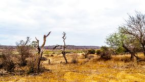 The almost dry Olifant River and drought stricken land in Kruger National Park. In South Africa royalty free stock photography