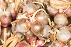 Dry onions for seed. In the park in nature Royalty Free Stock Photos