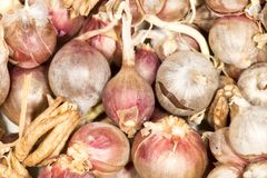 Dry onions for seed. In the park in nature Stock Images