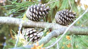 Dry and open pinecones in the tree stock video