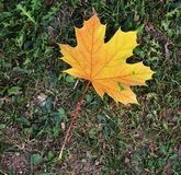 Dry yellow colorful leaf in the field, natural background, garden beauty Royalty Free Stock Photo