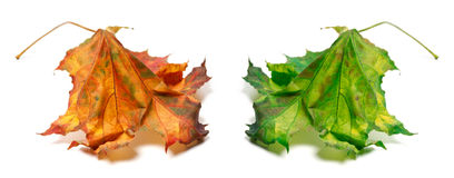Dry orange and green maple-leaf Stock Image