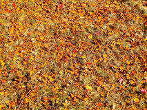 Dry orange and red leaves has fall on floor cause high temperatu. Re in summer Stock Image