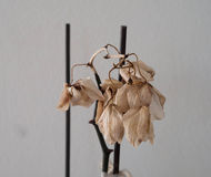 Dry orchid. With two sticks blurred blackground royalty free stock image