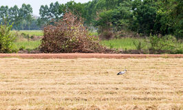 Dry paddy field Stock Image