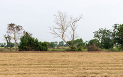 Dry paddy field after the havest time. Stock Photo
