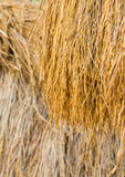 Dry paddy rice Stock Images