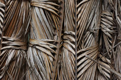 Dry palm leave. Asian Palmyra palm, Toddy palm, Sugar palm Stock Photography